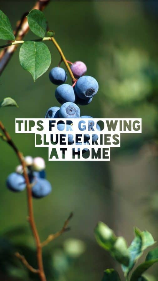 Tips for Growing Blueberries at Home