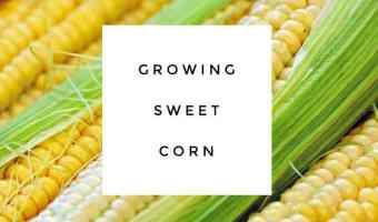 Growing Sweet Corn in the Home Garden