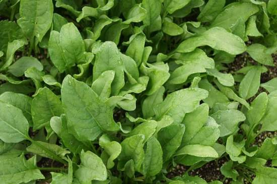 how to grow spinach in home garden