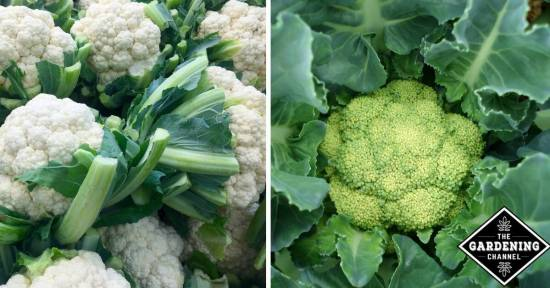 Grow cauliflower