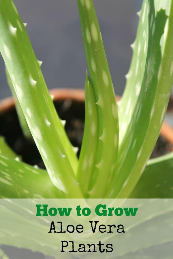 aloe vera in pot with text overlay how to grow aloe vera plants