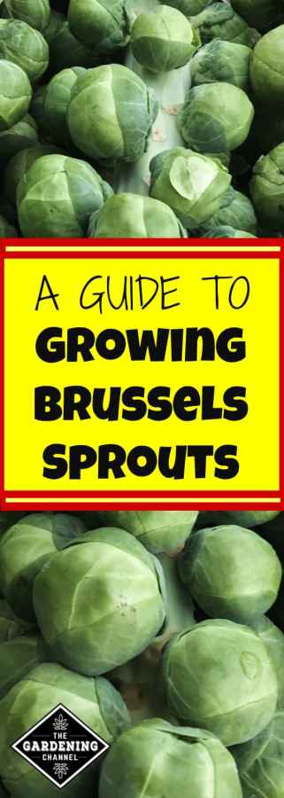 guide to growing brussel sprouts in home garden