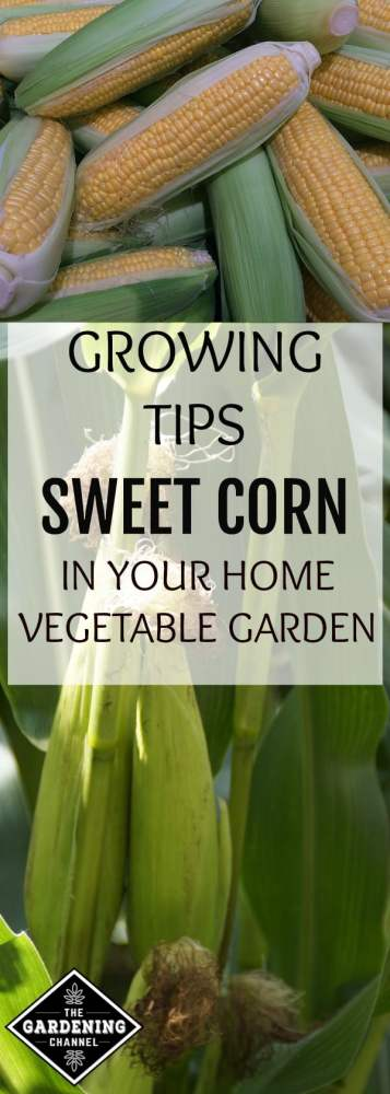 corn close up and plant close up with text overlay growing tips sweet corn in your home vegetable garden