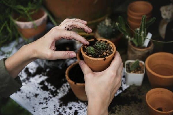 potting succulents cactus
