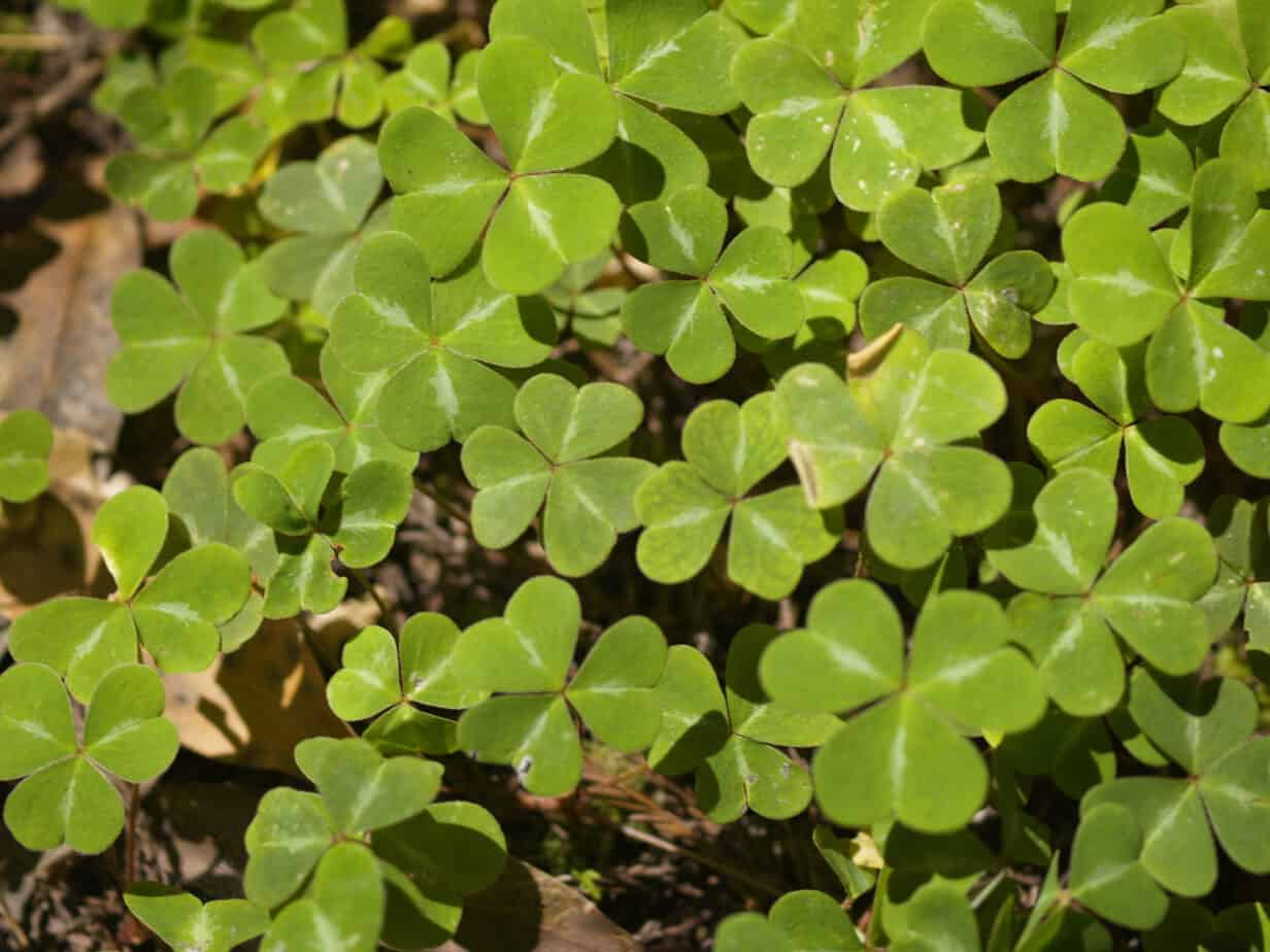 How to Use Ground Cover as Living Mulch  Gardening Channel