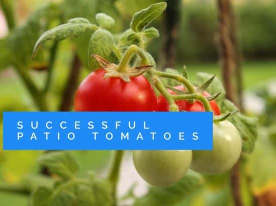 How to grow successful patio tomatoes