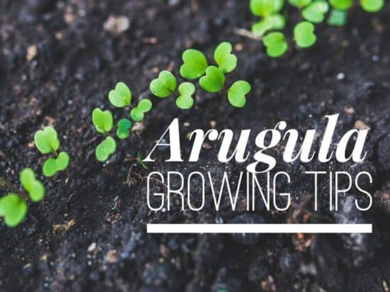Growing Arugula