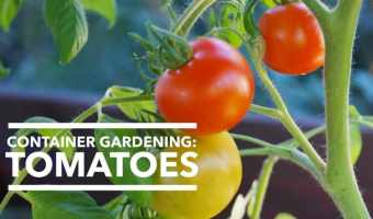 Tomatoes Grow Great in Containers