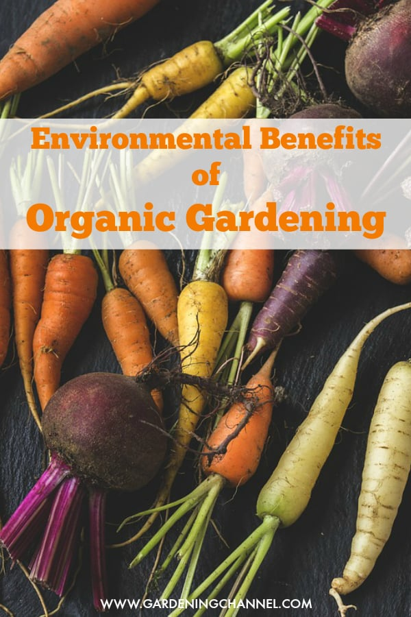 organic harvest of beets and carrots with text overlay environmental benefits of organic gardening