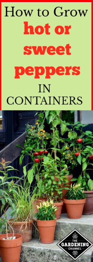 Growing Peppers In Your Vegetable Garden: Hot Or Sweet, You CAN Grow Peppers In Containers