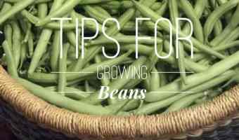 Tips for Growing Green Beans
