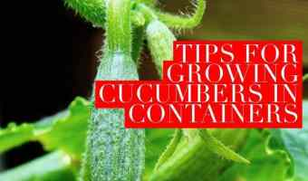 Grow Cucumbers in Pots with these easy tips