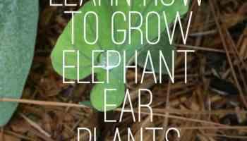 Are Elephant Ear Plants Poisonous Gardening Channel