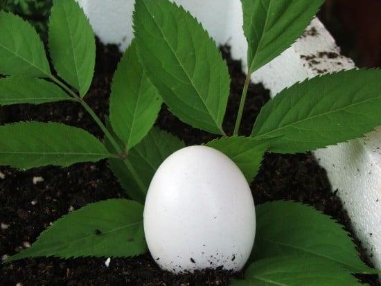 Eggplant Humor