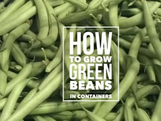 how to grow green beans in a container