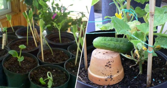 Learn to grow cucumbers in containers