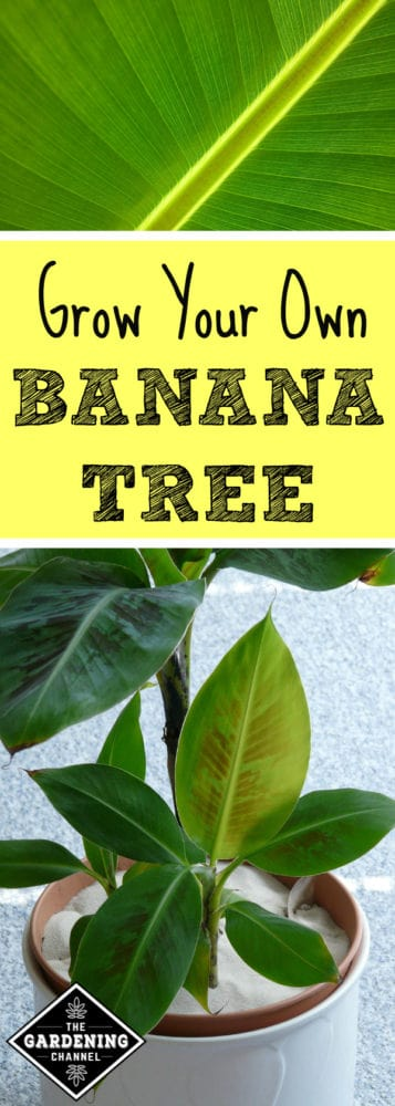 close up banana plant leaf and banana tree growing in container with text overlay grow your own banana tree