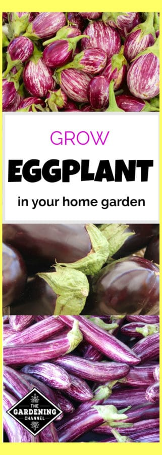 how to grow eggplant in your home garden