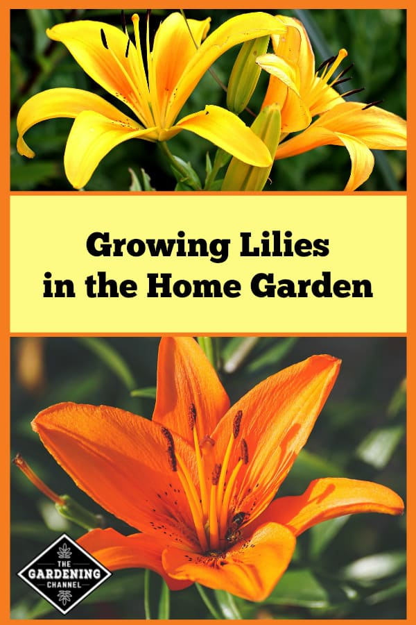 yellow and orange lilies with text overlay growing lilies in the home garden