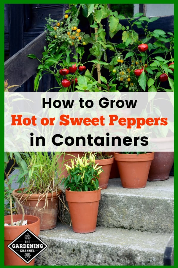 container garden on steps with peppers with text overlay how to grow hot or sweet peppers in containers