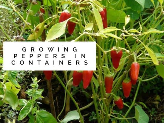 How to grow hot and sweet peppers in containers