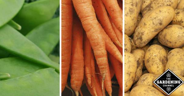 peas carrots and potatoes as examples for garden crop rotation