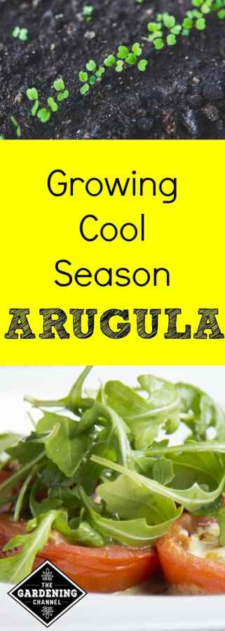 Try growing arugula in cool weather in your home vegetable garden with these growing tips.