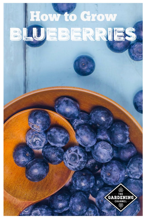 blueberries in wooden bowl with text overlay how to grow blueberries
