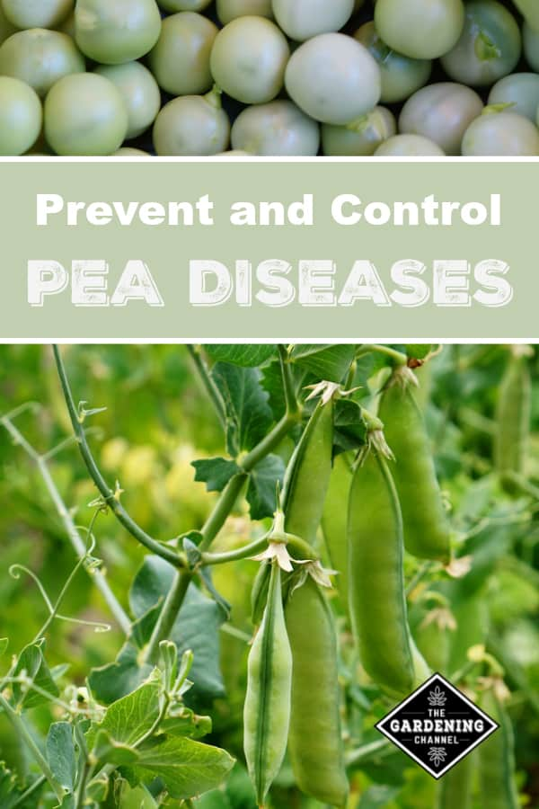 shelled peas and peas in garden with text overlay prevent and control pea dieseases