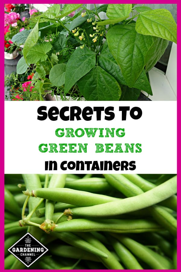 green beans growing in pot and close up of harvested green beans with text overlay secrets to growing green beans in containers