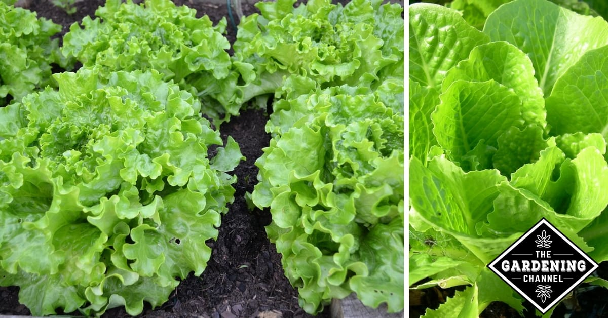 Growing Lettuce In The Home Garden Gardening Channel