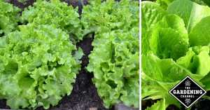 Lettuce to grow in your home garden