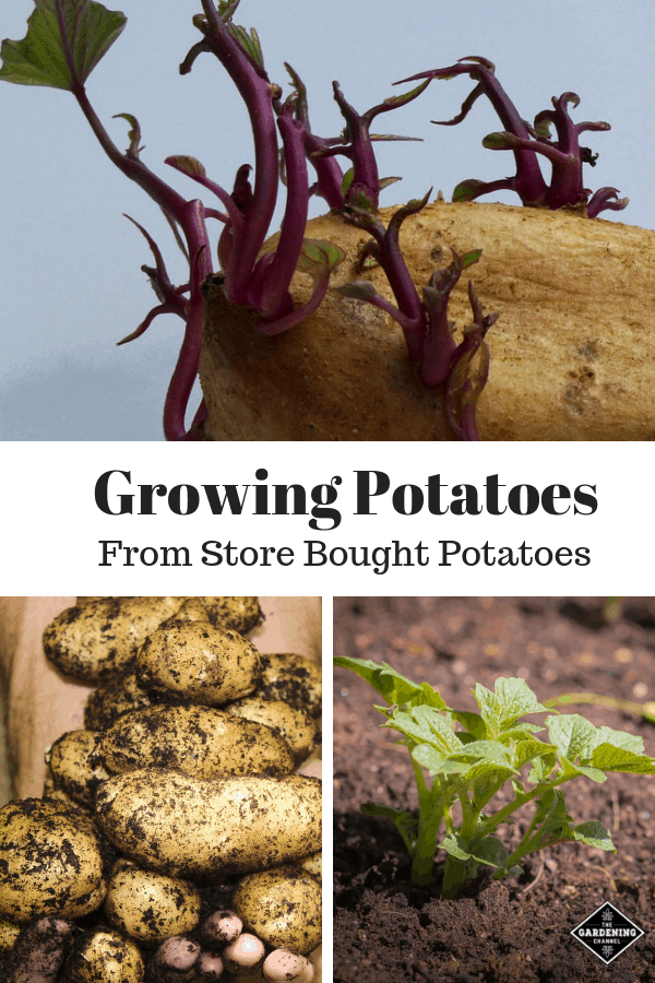 sprouting potato harvested potatoes and potato plant with text overlay growing potatoes from store bought potatoes
