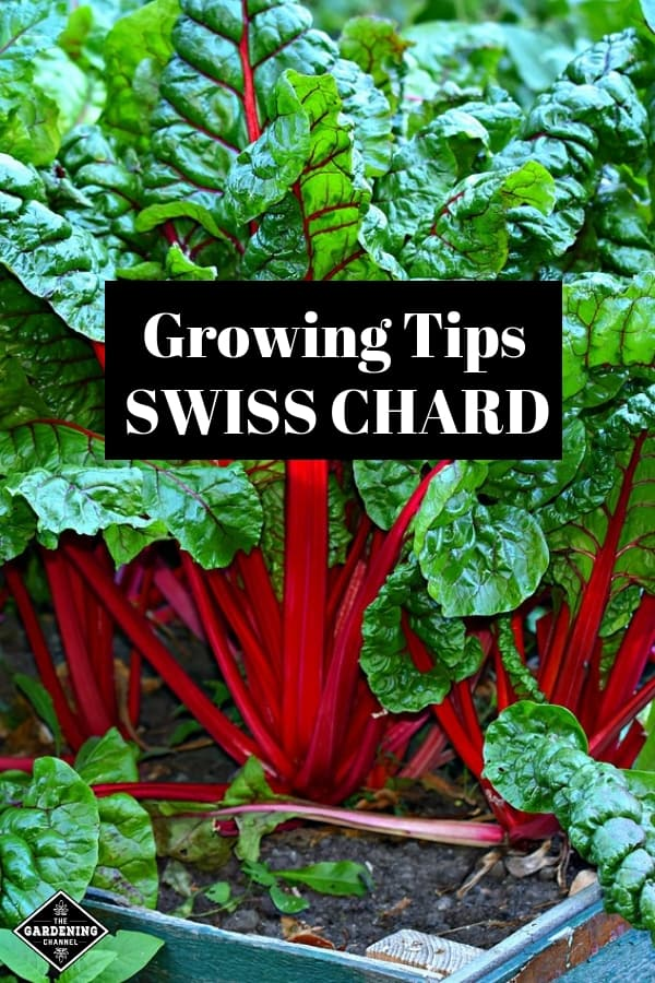 swiss chard growing in raised bed with text overlay growing tips swiss chard