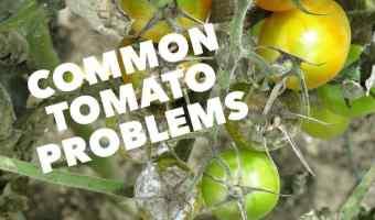 Common Tomato Fruit Problems