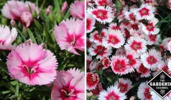 dianthus growing in flower garden