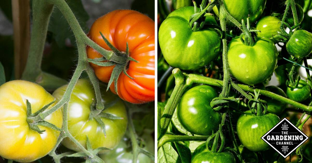 How to protect your tomato plants from animals gardening - How to protect vegetable garden from animals ...
