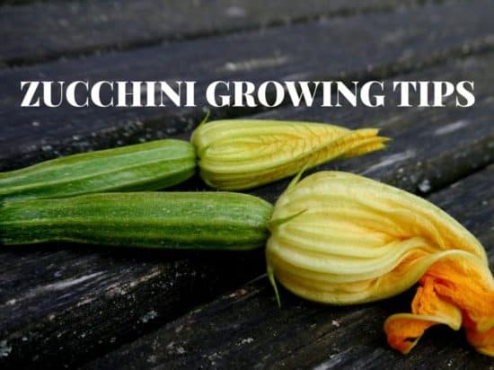Zucchini Growing tips