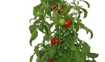 How to Grow Tomatoes in an Upside Down Garden