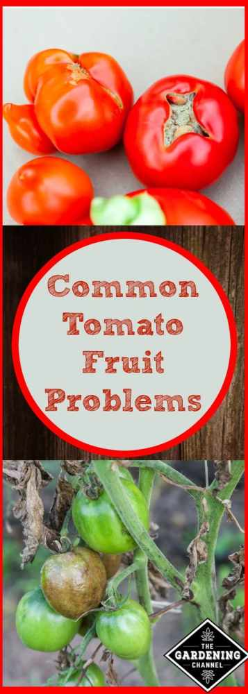 Find out how to diagnose the problems with the tomato plants in your garden