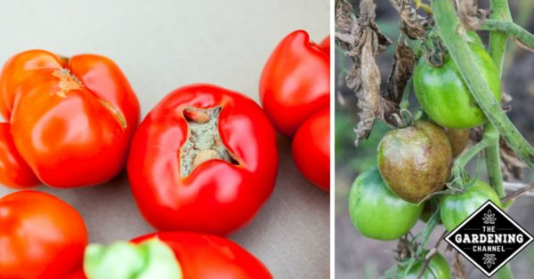 common tomato problems