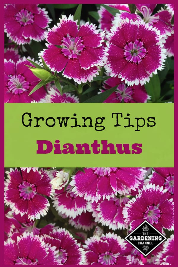 pink dianthus with text overlay growing tips dianthus