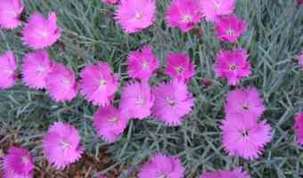 Growing Dianthus