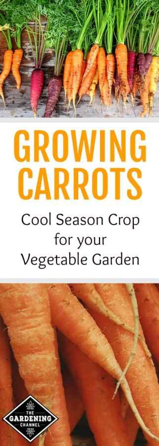 growing cool season carrots