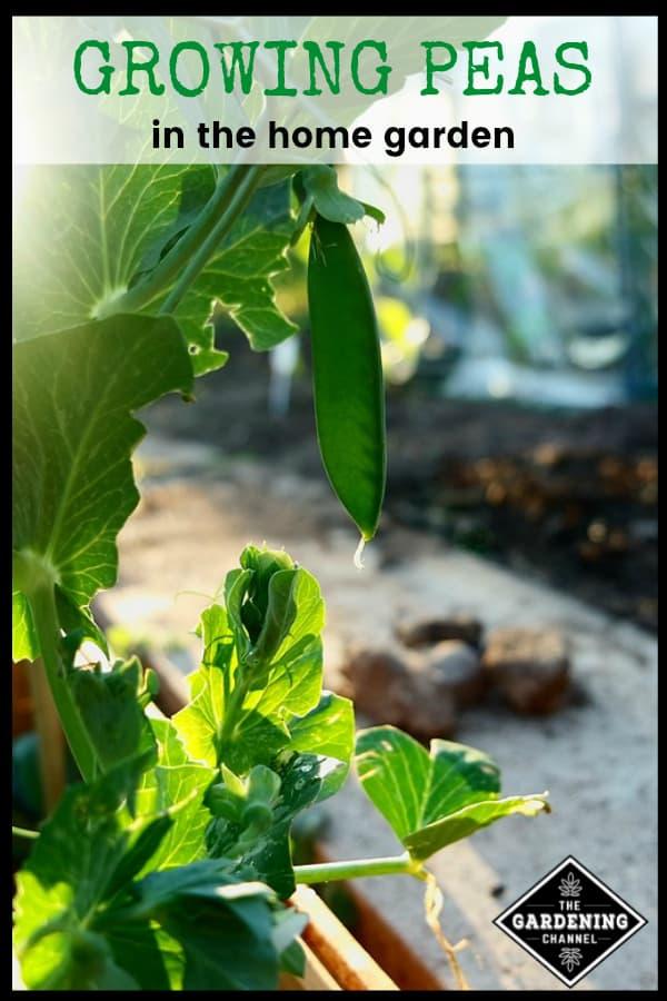 peas growing in garden with text overlay growin peas in the home garden