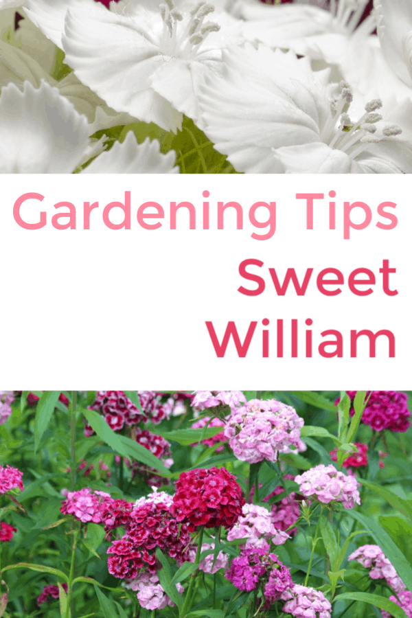 white sweet william and pink sweet william with text overlay gardening tips sweet william