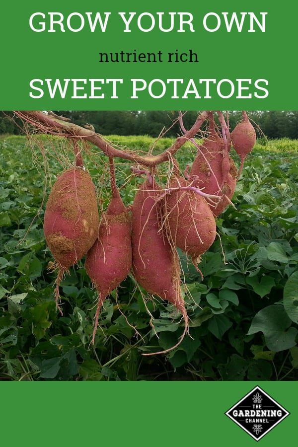 harvested sweet potatoes grow your own nutrient rich sweet potatoes