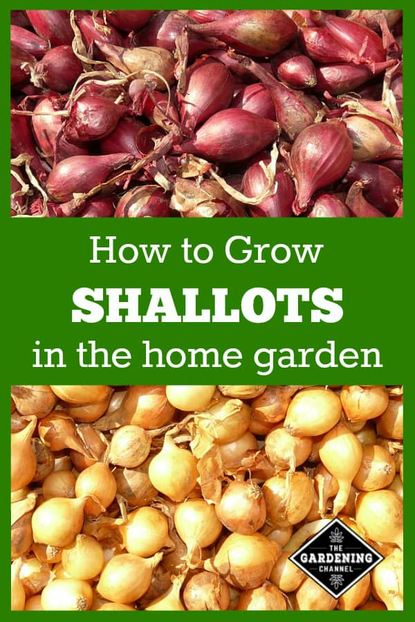 harvested shallots with text overlay how to grow shallots in the home garden