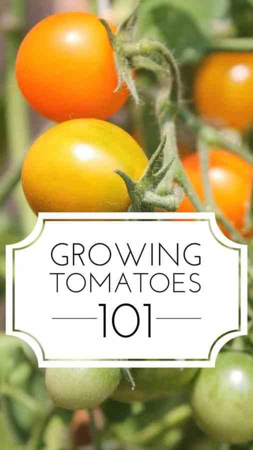 how to grow tomato plants 101