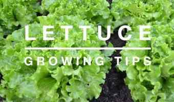 Growing Lettuce in the Home Garden